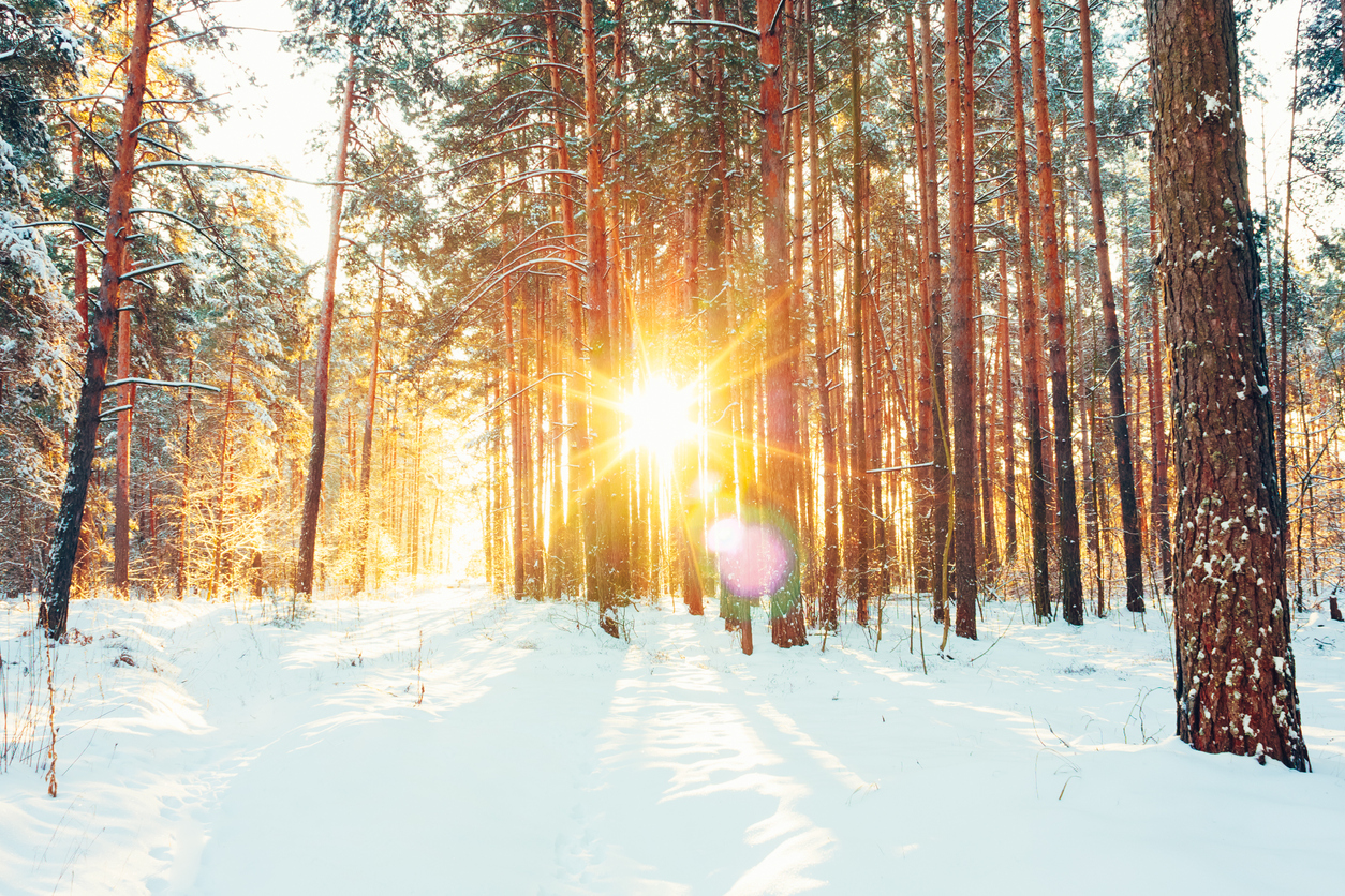 The sun shines through a forest in winter